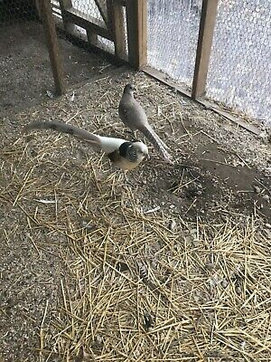 Silver Golden Pheasant Hatching Eggs (4)