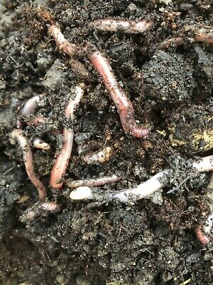 Tiger Worms ( Composting ) 200 Grams .