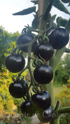 10 graines de tomate rare Indigo Rose heirloom tomato seeds méth.bio