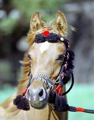 NATIVE Arabian Dance & Show Halter w/ Beads SADDLE TACK