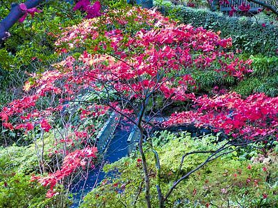 ACER PACK- 5 SEEDS OF 7 VARIETIES OF ACER- best colours  and our own photos
