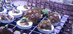 Zoa Zoas Frag Pack Mix of 3 Corals - Super Quality