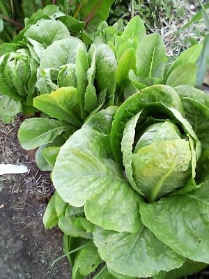 LETTUCE 150 seeds 'Cos' HEIRLOOM VEGETABLE GARDEN easy to grow Spring long yield