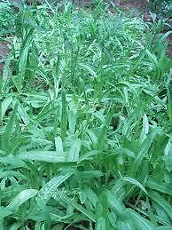 Amaranth, Chinese Spinach, Willow leaved, 200 seeds