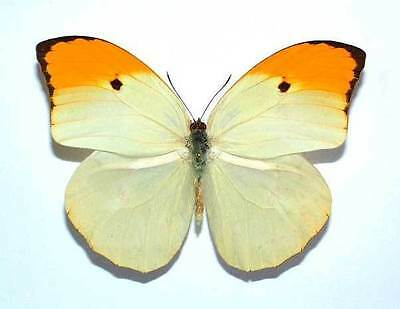 ANTEOS MENIPPE - unmounted butterfly