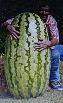 Competition Watermelon *cross Hybred *medicinal* Antioxidant* Lycopene*5 Seeds