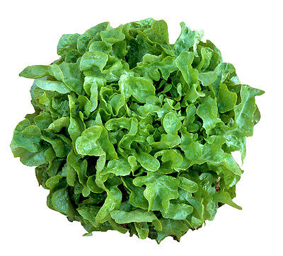 LETTUCE 'Green Oakleaf' 150 seeds vegetable garden fancy salad greens