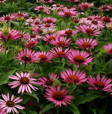 Echinacea PURPUREA 100 Seeds (HEIRLOOM) Herb Flowers Medicinal Purple Coneflower