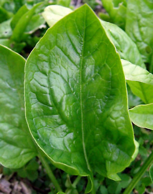 Spinach ENGLISH WINTER GIANT 50 Seeds (HEIRLOOM / ORGANIC)