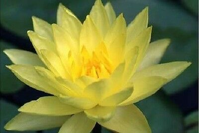 10 YELLOW LOTUS Nymphaea Eldorado Asian Water Lily Pad Flower Pond Seeds *CombSH