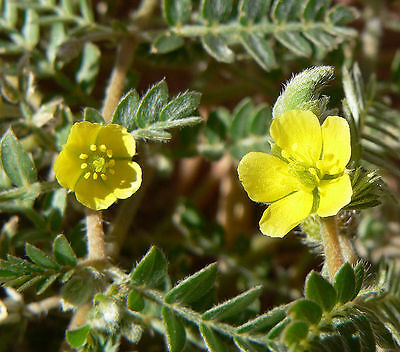 25 Yellow PUNCTURE VINE Tribulus Terrestris Flower Seeds + Gift & Comb S/H