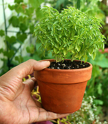 Basil GREEK MINI 200 Seeds (HEIRLOOM / ORGANIC) Herb