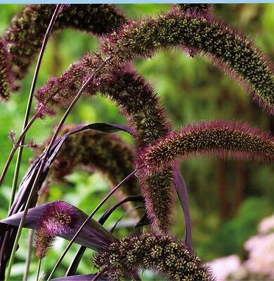 25 RED JEWEL MILLET Setaria Italica Ornamental Grass Flower Seeds *Comb S/H