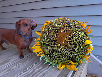 Sunflower * Dwarf * 24 Inches Tall * Edible Seeds *