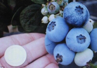 * Northern Highbush Blueberry Seed *attracts Wildlife Birds/bears  *