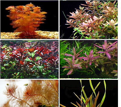 25 RED & PINK BUNCHED & WEIGHTED TROPICAL aquarium live plants fish tank