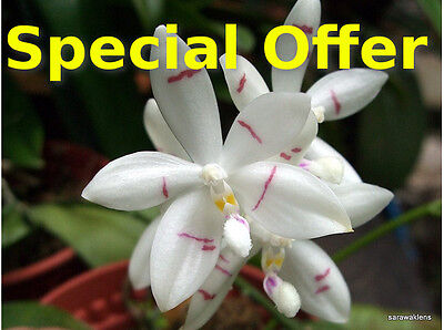 Special offer - Rare orchid Phalaenopsis species