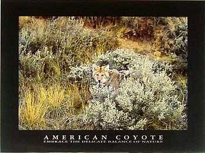 American Coyote, Poster 60 x 80 cm