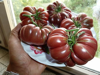 15 graines  semences TOMATE  DOM CAMILLO    seeds