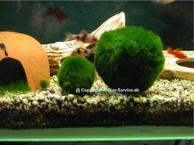 7 Mooskugeln ( Mooskugel ) 3-5 cm f Aquarium!!!