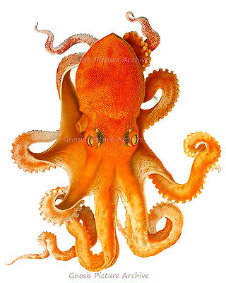 Vintage Orange Octopus Print Cephalopod no.9 Beach Decor Nautical Wall Hanging