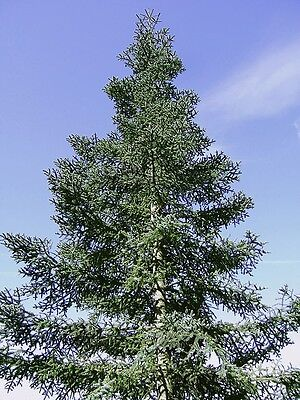 BARGAIN-WELSH BLUE NOBLE  FIR, ABIES NOBILIS (PROCERA) XMAS TREES! 25seeds