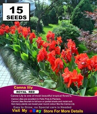CANNA   LILY  SEEDS*  DWARF  Deep Royal Red 10x SEEDS