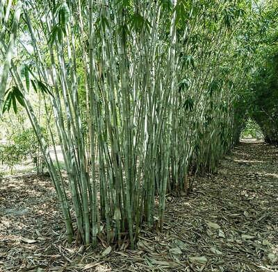 BAMBOO SEEDS - Giant Phyllostachys Pubescens Moso Rare SEEDS