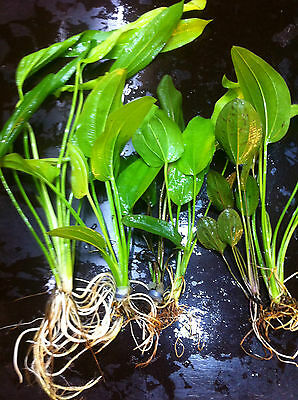 echinodorus lot 3 sortes 3 tailles PM+MM+GM 10/25cm plante aquarium facile