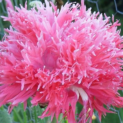 Pink Poppy Seed Mix