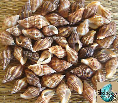 "30 Small Latrius Gibbucus Sea Shells- 7/8"" - 1"" Very Cute! Great For Crafting"