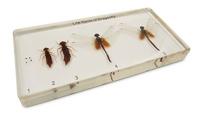 Dragonfly Development Lifecycle Life Cycle Specimen Acrylic Block Educational