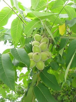 Rare Opportunity To Buy Attractive And Tasty Japanese Walnut Tree Seeds
