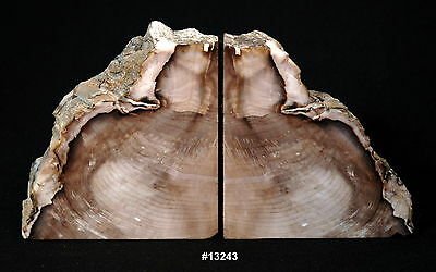 "Exquisite Petrified Wood Bookends 13 1/8"" w x 6 3/4"" high x 1 7/8"" thick 10.8 lb"