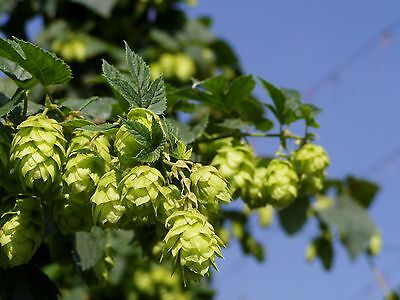 Bulk * 100 Seed *hops * Vigorous Climbing Vine* Aroma*cash Crop*beer Ingredient*