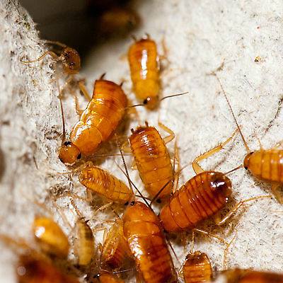 100 x Small Turkistan Nymphs Cockroaches Roaches Livefood Red Runner