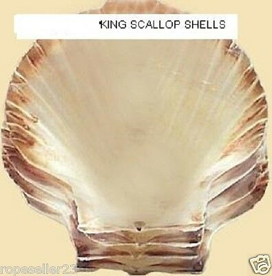 Scallop Shells    West Country Cleaned Shells Cooking Tableware Decoration