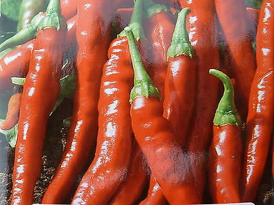 Graine  PIMENT DE CAYENNE  rouge  long seeds   40 graines samen semillas France