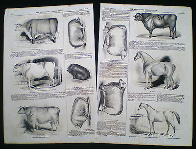Derby Agricultural Show Hereford Cow Essex Boar Pig Sheep Horse 2 Prints 1843