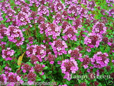 TRAILING THYME - PURPLE CREEPING - 4200 SEEDS - Thymus Serpyllum - FLOWER HERB