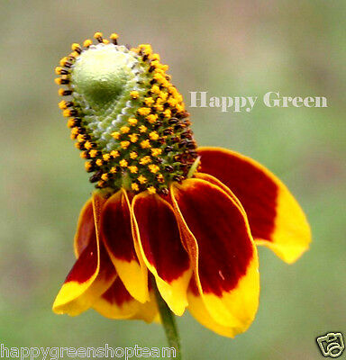 MEXICAN HAT - Ratibida  Columnifera - 200 FLOWER SEEDS