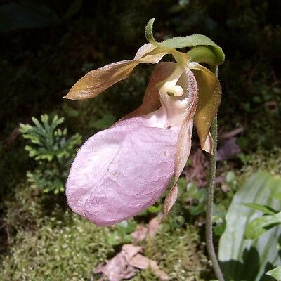Pink Lady's Slipper .. Orchid .. 200 Seeds