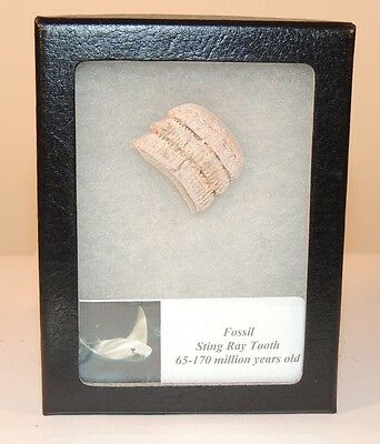 Fossil Sting Ray Tooth from Mesozoic Era 65-170 Million years (7572)
