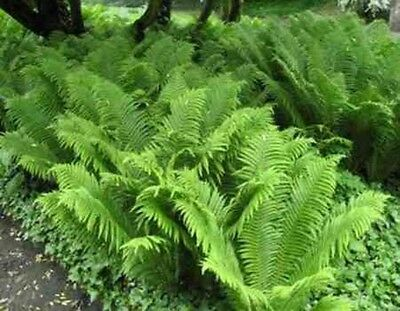 "Ostrich Ferns .... 24""-36"" .... 10 Plants"