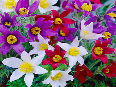 PASQUE FLOWER MIX ANEMONE - 70 SEEDS - Pulsatilla vulgaris - ROCKERY FLOWER