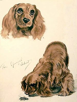 GOLDEN COCKER SPANIEL REALLY CUTE  Vintage Dog Print 1944 Diana Thorne