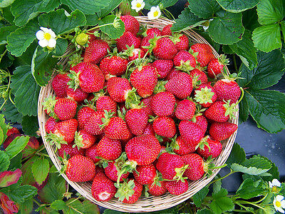 10 STRAWBERRY PLANTS - GIANT BERRY SEASCAPE - ORDER NOW FOR FALL PLANTING !!!