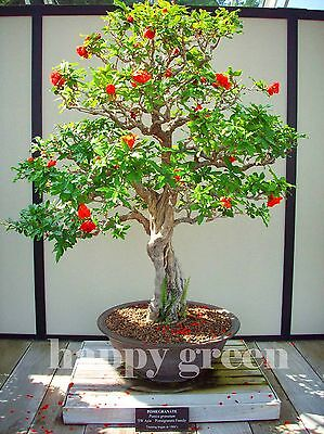 POMEGRANATE TREE - Punica Granatum -  40 seeds - Perfect for Bonsai