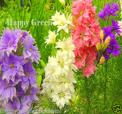 ROCKET LARKSPUR MIX - Delphinium ajacis - 600 seeds - FLOWER
