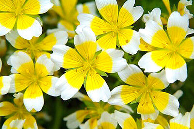 POACHED EGG PLANT - Limnanthes douglasii - 250 seeds - YELLOW WITH WHITE EDGE